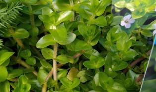 Waterhyssop (Bacopa caroliniana)