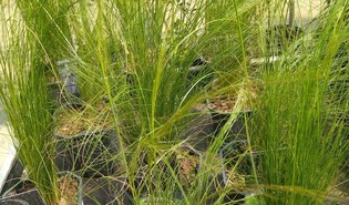 Fijn vedergras (Nassella tenuissima)