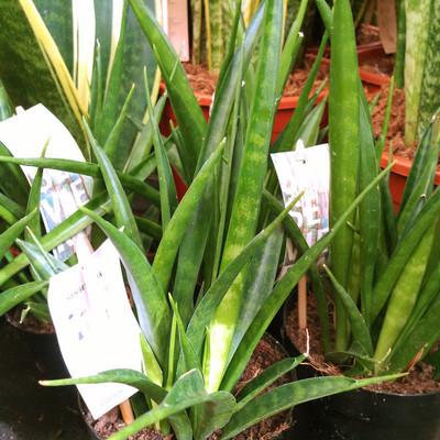 Keniaanse hyacint (Dracaena parva)