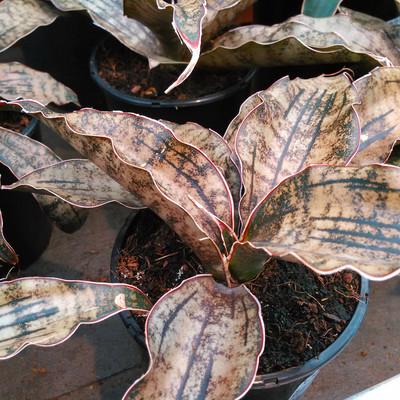 Koperen sansevieria (Dracaena pethera var. pulchra 'Coppertone')
