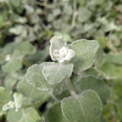 Kooigoed (Helichrysum petiolare)