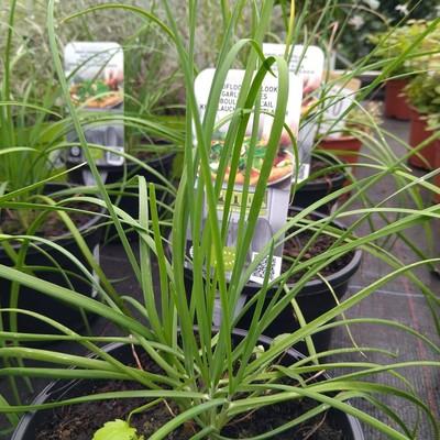 Chinese bieslook (Allium tuberosum)
