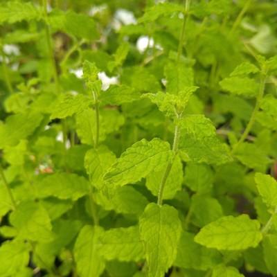 Aardbeimunt (Mentha arvensis 'Strawberry')