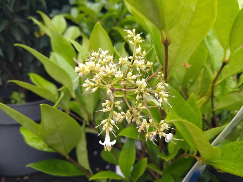 Japanse liguster (Ligustrum japonicum)