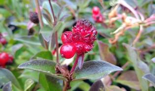 Wilde kamperfoelie (Lonicera periclymenum)