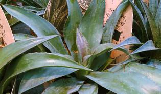 Mangave (Agave spp.)