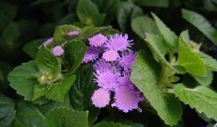 Mexicaantje (Ageratum houstonianum)