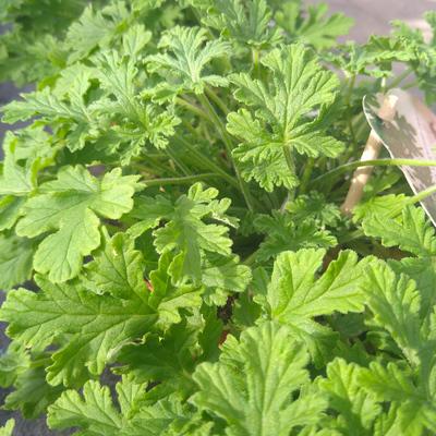 Citroengeranium (Pelargonium sp.)