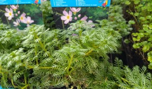 Waterviolier (Hottonia palustris)