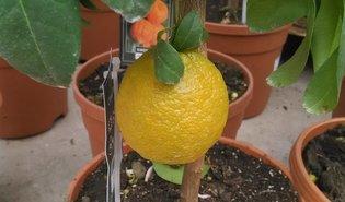 Rode citroen (Citrus × limonimedica 'Pigmentata')