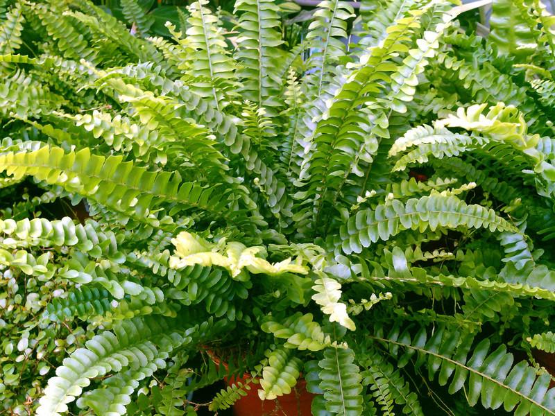 Krulvaren (Nephrolepis exaltata)