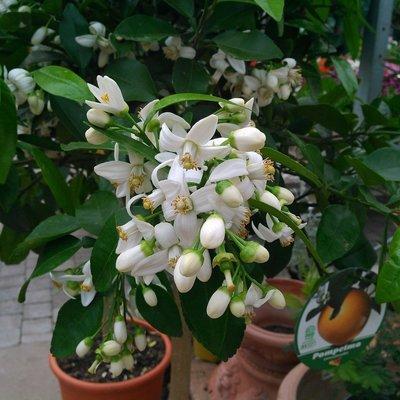 Pompelmoes (Citrus × paradisi)