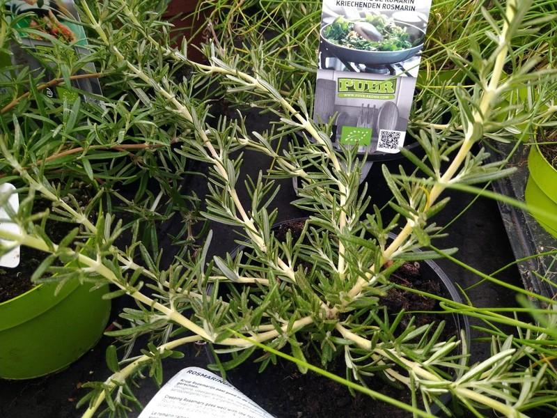 Kruiprozemarijn (Salvia rosmarinus 'Capri')