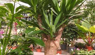 Olifantspoot (Yucca gigantea)