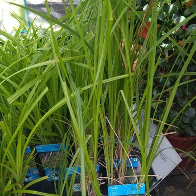 Oeverzegge (Carex riparia)