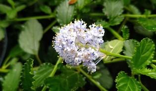 Amerikaanse sering (Ceanothus thyrsiflorus)