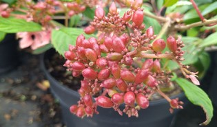 Japanse sneeuwbal (Viburnum plicatum)