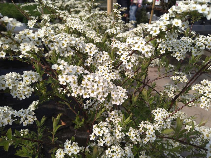 Spierstruik (Spiraea × cinerea)