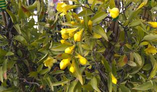 Gele jasmijn (Gelsemium sempervirens)
