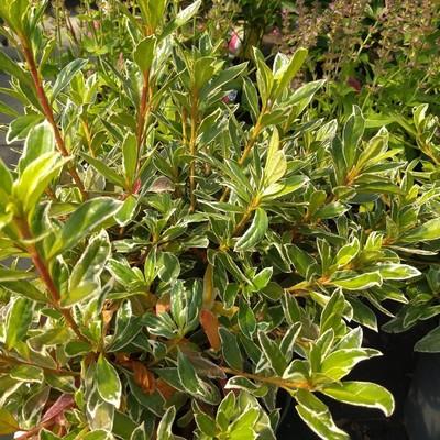 Azalea (Rhododendron spp.)