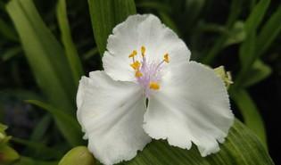 Eéndagsbloem (Tradescantia × andersoniana)
