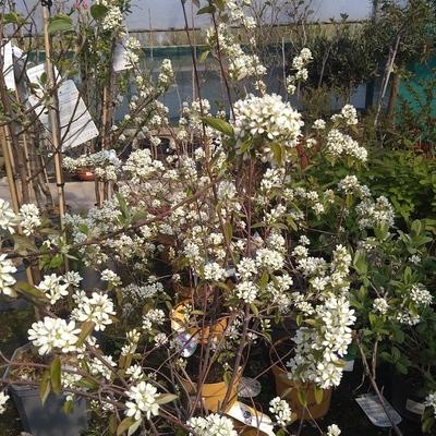 Grootvruchtig krentenboompje (Amelanchier alnifolia)