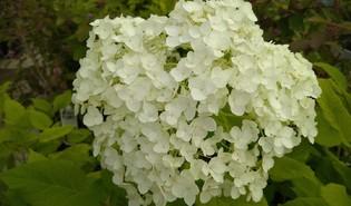 Boomhortensia (Hydrangea arborescens)