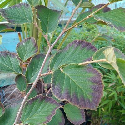 Toverhazelaar (Hamamelis × intermedia)