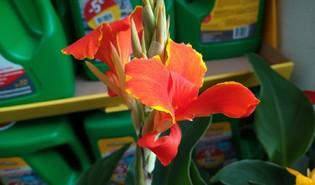 Bloemriet (Canna spp.)