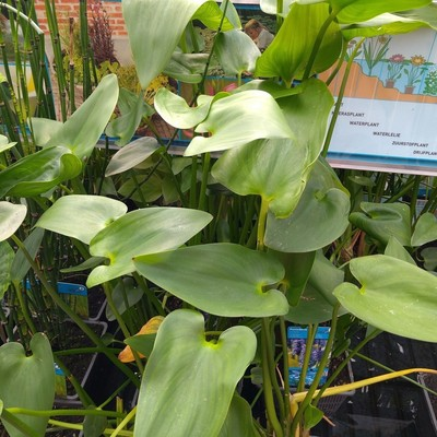 Moerashyacint (Pontederia cordata)