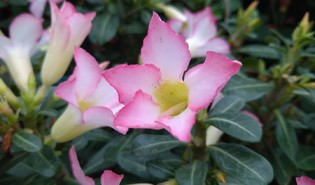 Woestijnroos (Adenium obesum)