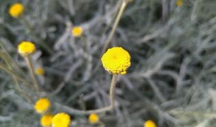 Cipressenkruid (Santolina chamaecyparissus)