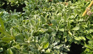 Rozenkransje (Antennaria dioica)