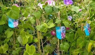 Blauwe dagwinde (Ipomoea purpurea)