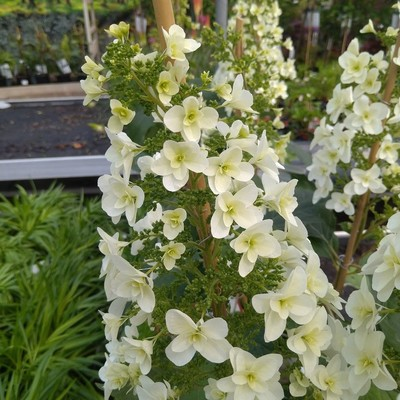 Eikenbladhortensia (Hydrangea quercifolia)
