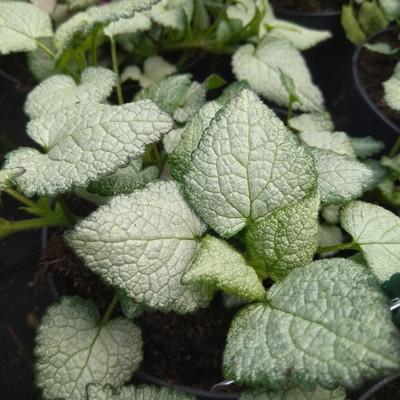 Gevlekte dovenetel (Lamium maculatum)