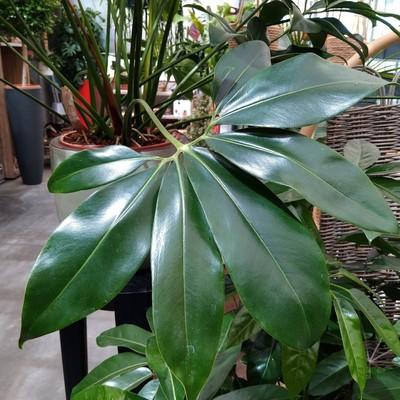 Thaumatophyllum spruceanum 'Green Wonder'