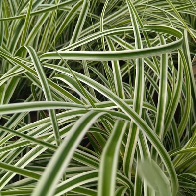 Japanse zegge (Carex oshimensis)