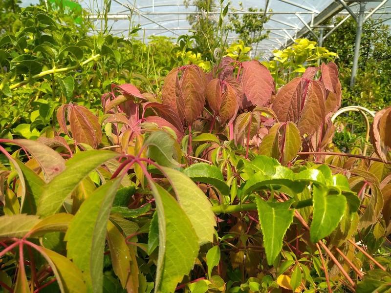 Vijfbladige wingerd (Parthenocissus quinquefolia)