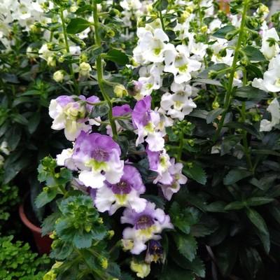 Zomerleeuwenbek (Angelonia angustifolia)