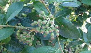 Zwarte appelbes (Aronia melanocarpa)