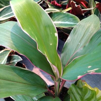 Geluksplant (Cordyline fruticosa)