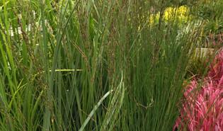 Pijpenstrootje (Molinia caerulea)