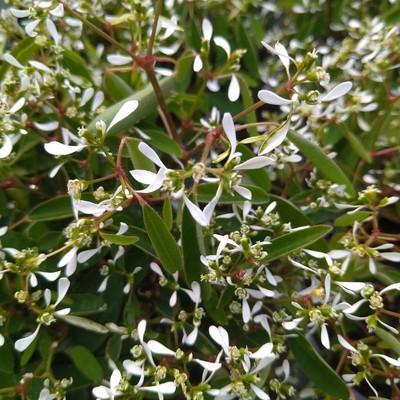 Wolfsmelk (Euphorbia hypericifolia)