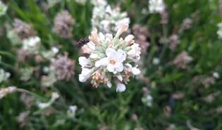 Lavandin (Lavandula × intermedia)