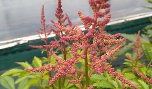 Prachtspirea (Astilbe spp.)