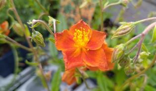 Zonneroosje (Helianthemum spp.)