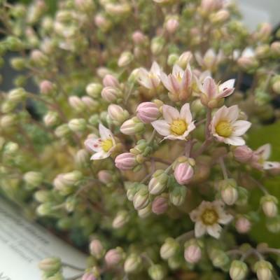 Dik vetkruid (Sedum dasyphyllum)