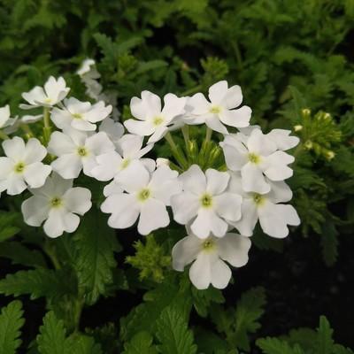 Peruviaans ijzerhard (Verbena peruviana)