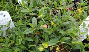 Rotsroos (Cistus spp.)